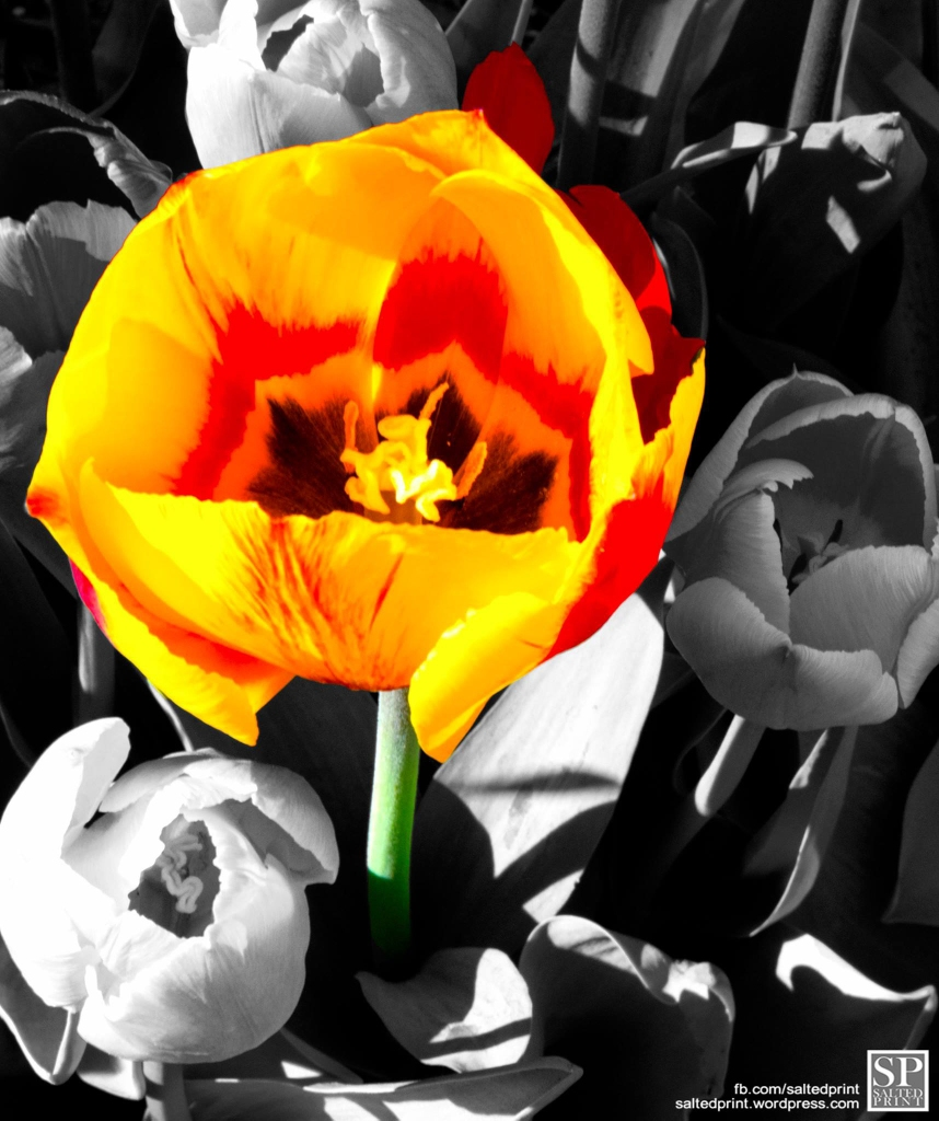 Painted Tulip